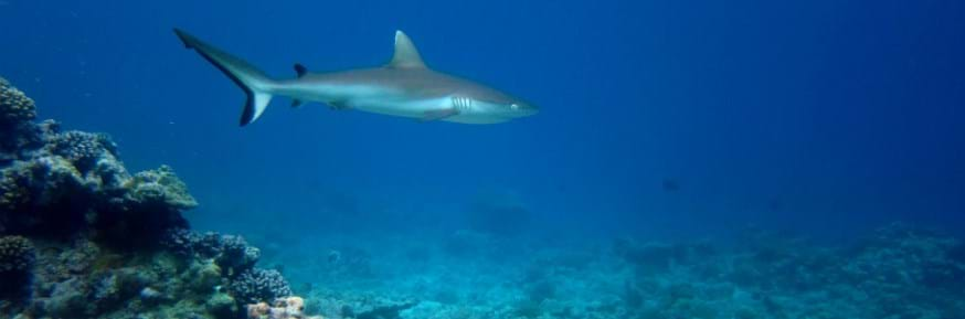 Shark in the sea above a coral reef