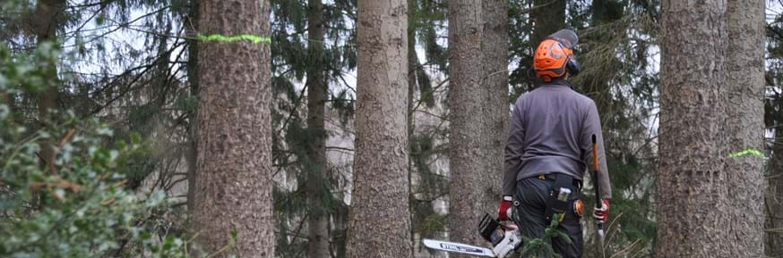 A forester wearing protective equipment, carrying a chainsaw and axe, walks through a pine forest looking at the trees that are marked to be felled
