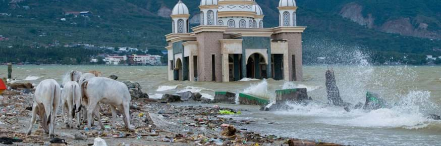 Cattle wander amid the debris in front of the destroyed mosque in Palu, Indonesia, after a tsunami