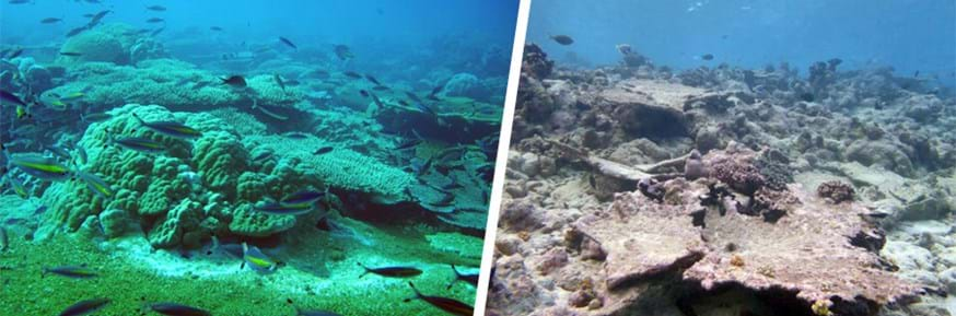Healthy, actively  growing  reef  and 'post bleaching event' reef.