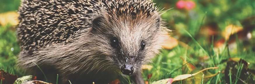 A hedgehog amongst the grass