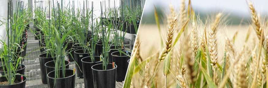Crops of wheat (on the left) growing as green plants in pots in a research greenhouse and (on the right) ripening as golden ears in the field