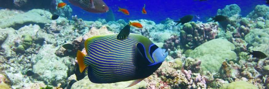 An angelfish