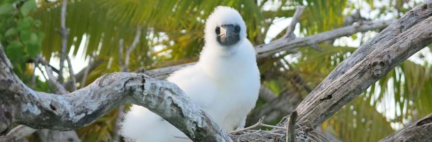 A Booby chick sits on a nest on a rat-free island in the Indian Ocean