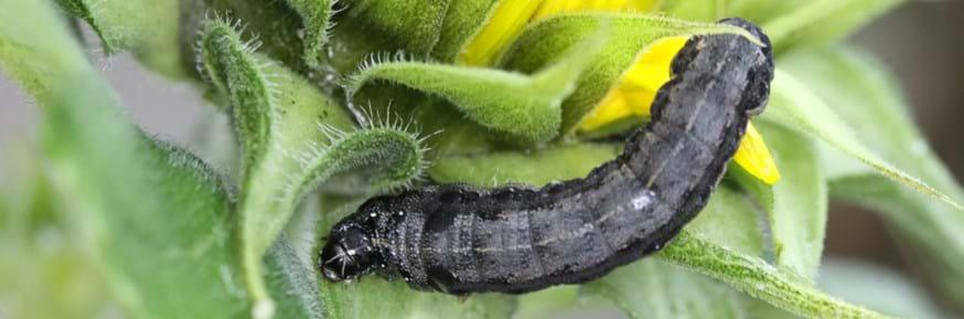 African cotton leafworm (Spodoptera littoralis)