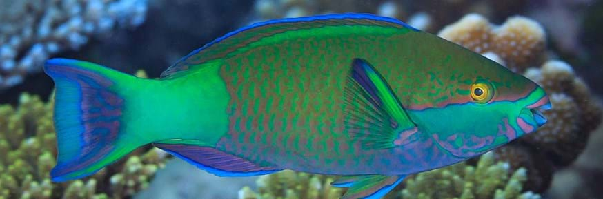 Parrotfish species, which is fished in Seychelles and increased in abundance after coral bleaching. (Tane Sinclair-Taylor)