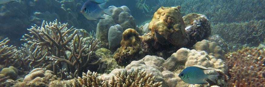 A picture of recovering coral reef and a couple of blue fish swimming
