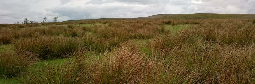 A picture of rushes on the West Pennine Moor
